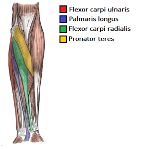 http://teachmeanatomy.info/upper-limb/muscles/anterior-forearm/