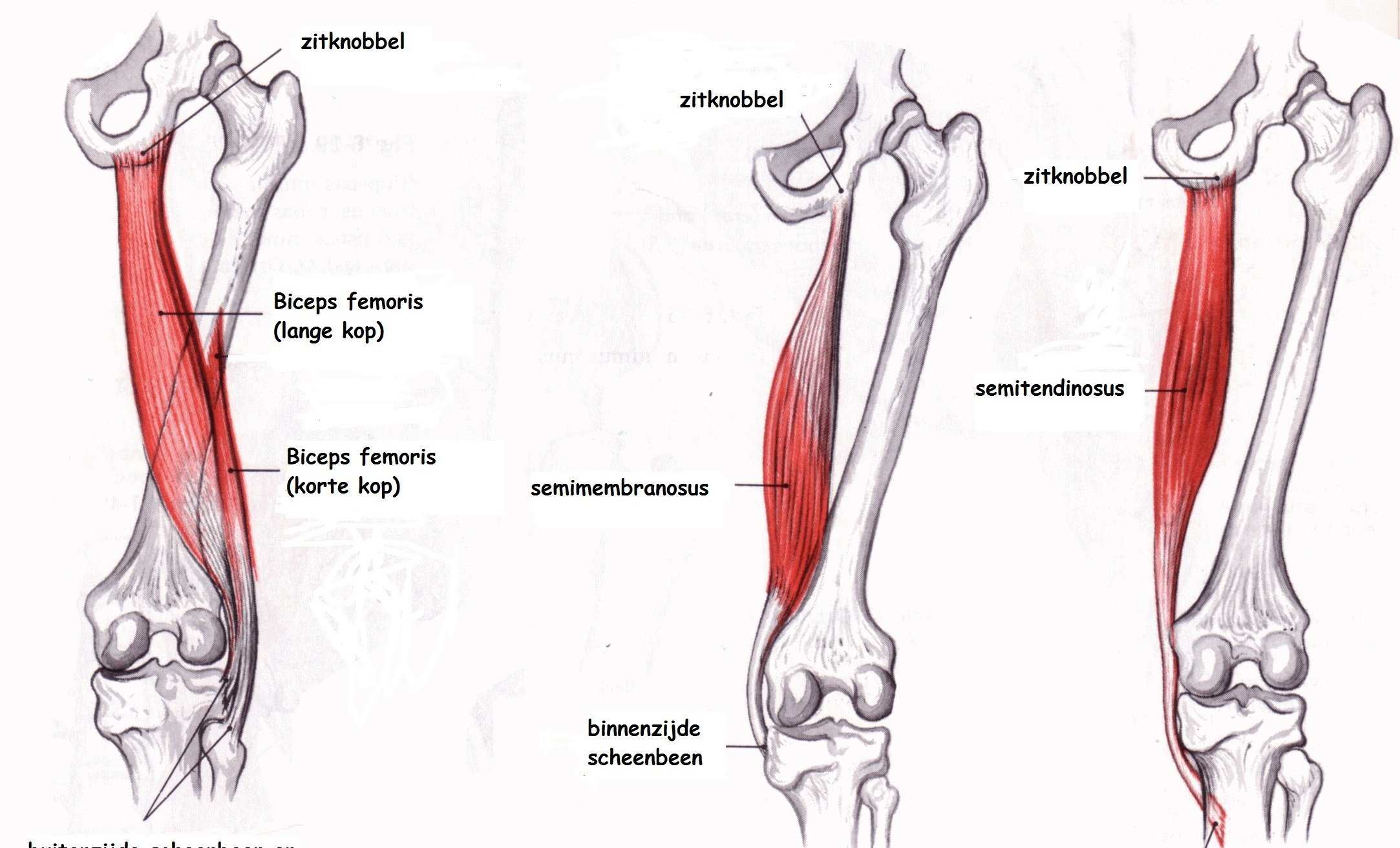 "Understanding Hamstring Strains: ""POP!"" — Phila Massages"