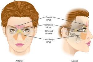 Paranasal-Sinuses-1-300x202.jpg?format=o