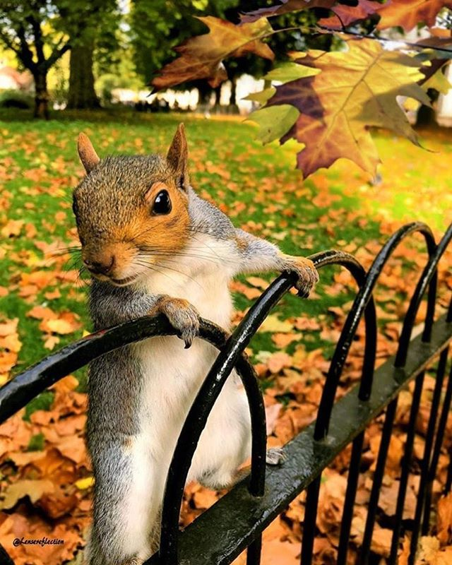 Happy Fall!!! 🍁🍂Are you as excited Fall's finally here as I am? 🐿💃🍂🍁🍂🍁🍂🍁🐿 Fab photo by @lensreflectionn  #happyfall #happyfirstdayoffall #fallleaves #squirrels #funtimes #fallleaves #autumn🍁