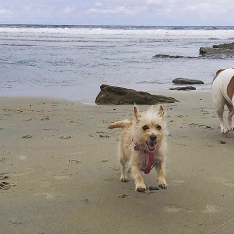 """To ensure your signature is counted mail in petitions ASAP! Deadline is May 31st. LA county registered voters, visit ladogbeaches.com to print out a petition and ✍ to get LA county 🐶🏖. Petitions also available at all @centinelafeed and @pussandpooch locations, most LA dog parks an many LA dog businesses! ⏰🚨🙏 📩🐶 #ladogbeaches #losangeles #beachdog #dogbeach #offleash #dogsofinstagram 📸 by @skittles_the_diva """"Live each day like someone left the gate open 😜🐾 #SanDiego #DogBeach #BeachDay #TerrierMix #JackRussel #JackRusselMix #BeachBabe #DelMar #SolonaBeach #Oceanside #CaliforniaLivin #SoCalLife #DogsOfOrangeCounty #DogsOfSanDiego #DogsOfInstagram #RescuedIsMyFavoriteBreed #AdoptDontShop #SoCal #SouthernCalifornia"""""""