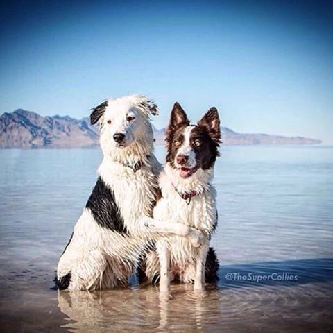 """#hugs To ensure your signature is counted mail in petitions ASAP! Deadline is May 31st. LA county registered voters, visit ladogbeaches.com to print out a petition and ✍ to get LA county 🐶🏖. Petitions also available at all @centinelafeed and @pussandpooch locations, most LA dog parks an many LA dog businesses! ⏰🚨🙏 📩🐶 #ladogbeaches #losangeles #beachdog #dogbeach #offleash #dogsofinstagram 📸 by  @thesupercollies """"Hug your sibling today 😍"""" #collies #boardercolliesofinstagram"""