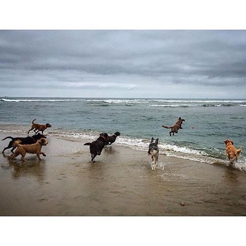 """To ensure your signature is counted mail in petitions ASAP! Deadline is May 31st. LA county registered voters, visit ladogbeaches.com to print out a petition and ✍ to get LA county 🐶🏖. Petitions also available at all @centinelafeed and @pussandpooch locations, most LA dog parks an many LA dog businesses! ⏰🚨🙏 📩🐶 #ladogbeaches #losangeles #beachdog #dogbeach #offleash #dogsofinstagram 📸 by @dogrepublic_oc """"It's Sunday! Don't be afraid to jump in.."""" #labrador #goldenretriever #doodles #aussies"""