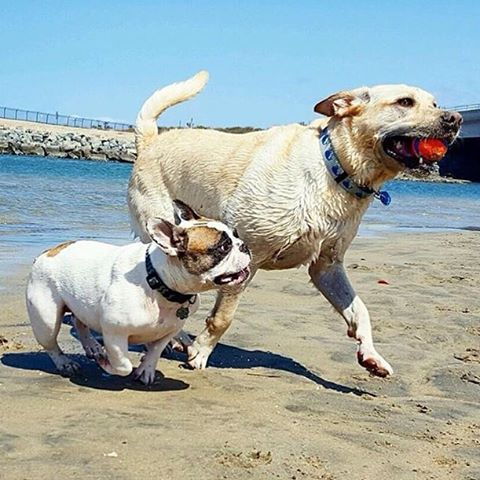 """To ensure your signature is counted mail in petitions ASAP! Deadline is May 31st. LA county registered voters, visit ladogbeaches.com to print out a petition and ✍ to get LA county 🐶🏖. Petitions also available at all @centinelafeed and @pussandpooch locations, most LA dog parks an many LA dog businesses! ⏰🚨🙏 📩🐶 #ladogbeaches #losangeles #beachdog #dogbeach #offleash #dogsofinstagram 📸 by @izzydpig_glastonbury """"My crush doesn't know I exist. 😟 Duke! I'm right here!  LOOK DOWN DUKE!!! 🙄💔 -Izzy Pig  #immunetomycharm #hesaballhoganyway #stillcutetho  #❤️ 📷 @surfcitydogwalks"""""""