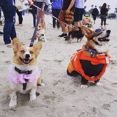 """#corgstruck To ensure your signature is counted mail in petitions ASAP! Deadline is May 31st. LA county registered voters, visit ladogbeaches.com to print out a petition and ✍ to get LA county 🐶🏖. Petitions also available at all @centinelafeed and @pussandpooch locations, most LA dog parks an many LA dog businesses! ⏰🚨🙏 📩🐶 #ladogbeaches #losangeles #beachdog #dogbeach #offleash #dogsofinstagram 📸 by @stumpyalice """"Met @supercorgi_jojo last weekend and I found out he doesn't mess around when it comes to an outing at the beach.  Wetsuit ✅ Life jacket ✅ Doggles ✅  #socalcorgination #corgibeachday #socalcorgi #supercorgijojo #corgination #corgisofinstagram #welshcorgi #corgi #dogsofinstagram #beachbody #beachday"""""""