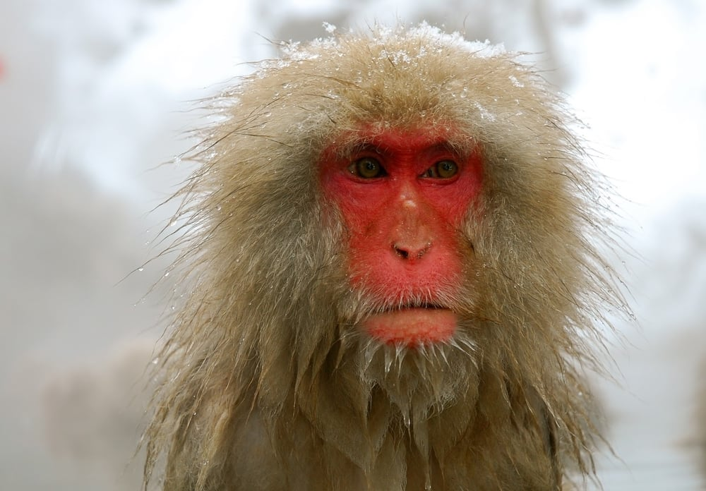 Snow Monkey, Yudanaka, Japan 2013
