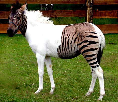 zebrahorseepa_468x403.jpg