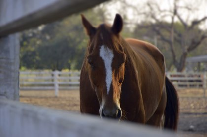 Researchers Test 'Composite Pain Scale' for Horses | TheHorse.com