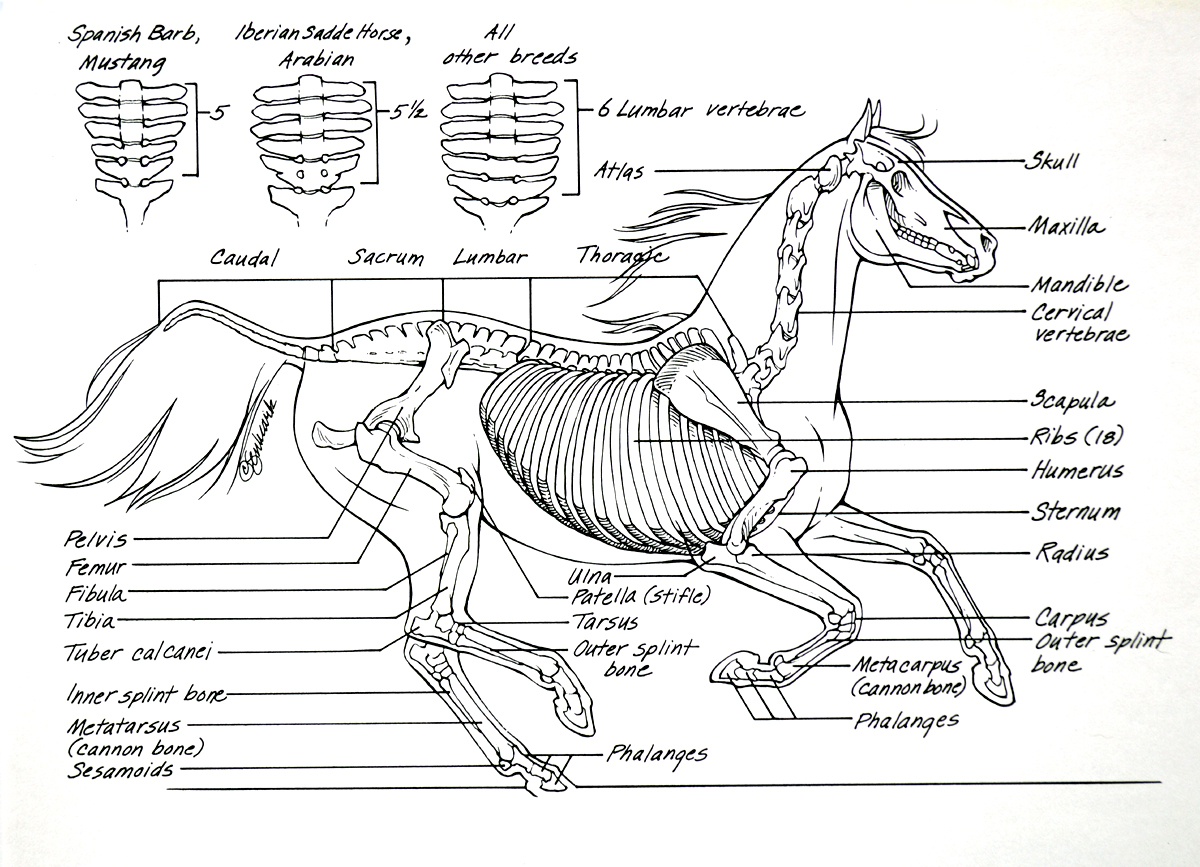 horse-anatomy-skeleton