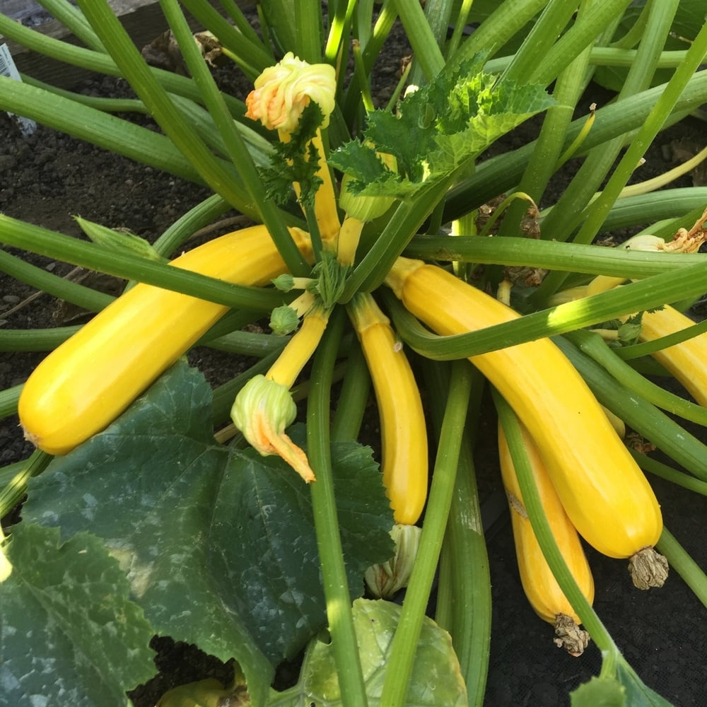 An abundant amount of yellow zucchinis from a single plant