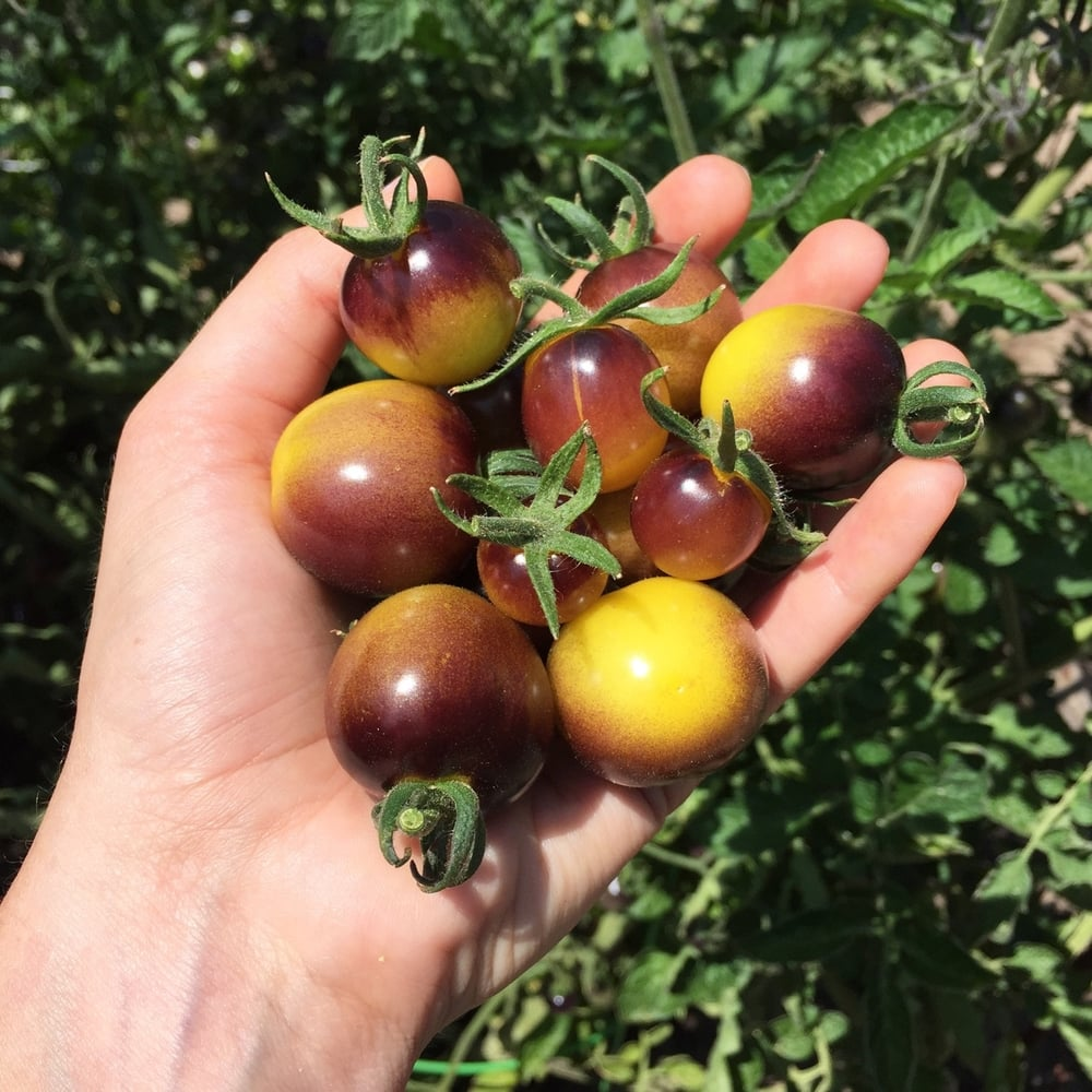 A handful of  Indigo Gold  tomatoes