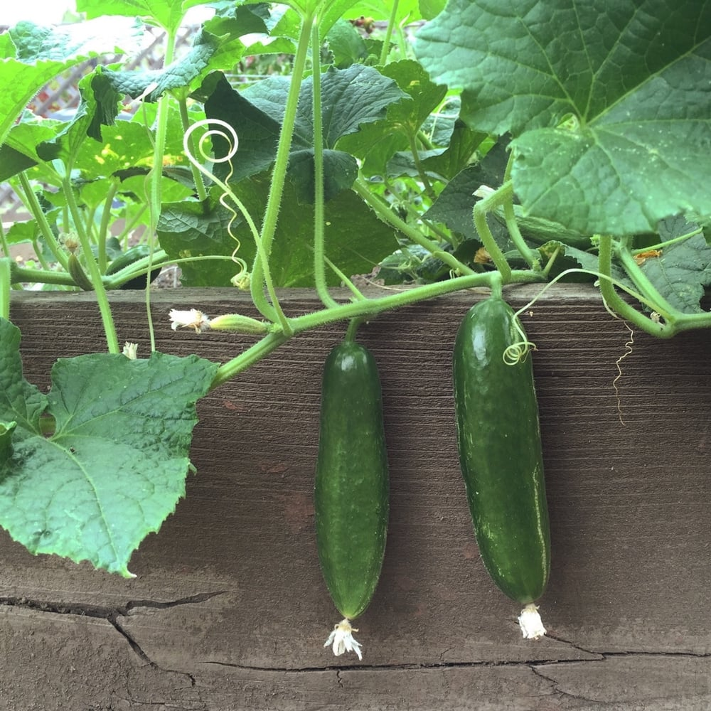 A couple cucumbers