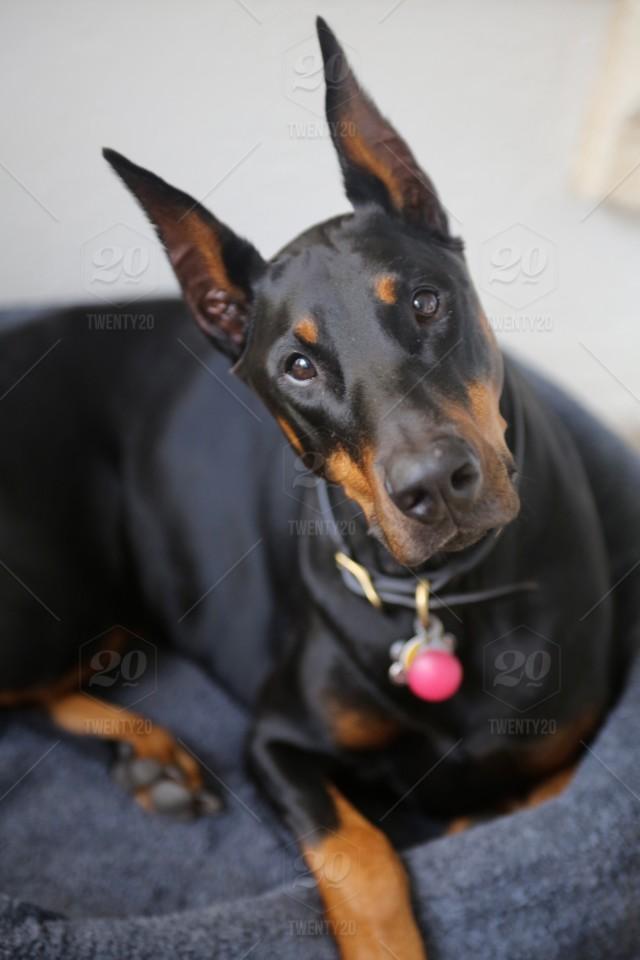 stock-photo-dog-pet-doberman-doberman-pinscher-pinscher-f5313b92-3a0a-4052-a93b-d6aae6265ae3.jpg