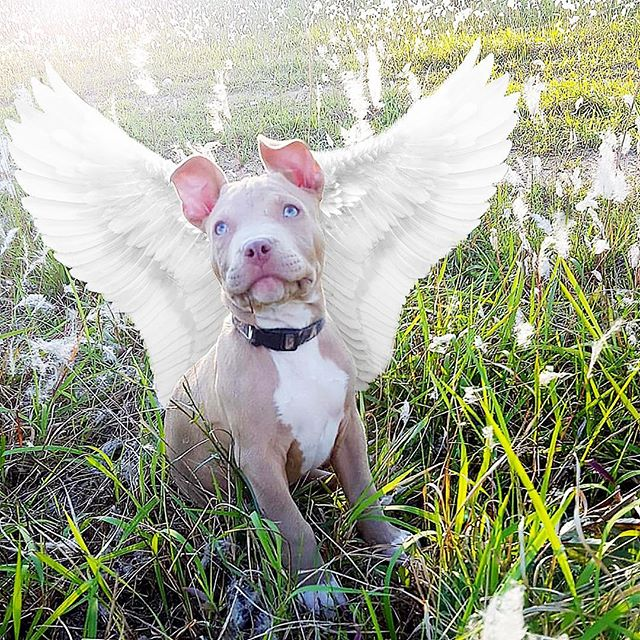 Made this for my friend that lost her pup, Bam Bam, too soon. @adrianne_breezy #puppy #rainbowbridge #yourhaloisshowing #wings #bullybreed #bambam #sweet #angelic #field #photoedit #photoshop #memorial #loved #puppy #instapuppy