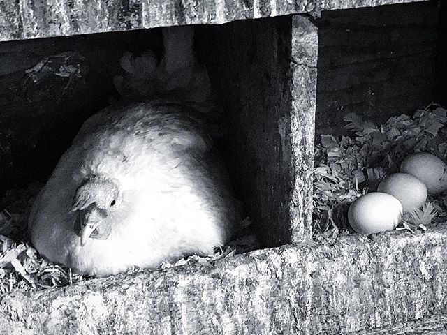 Overachiever, pfft. 😂🐔 #chicken #eggs #farm #overachiever #farmlife #country #blackandwhitephoto #blackandwhitephotography #contrast #photography #animals #food #midwest #happy #life #breakfast #notdinner #instagood #instaphoto #instachicken #instaanimal #pets #instafarm #instapets