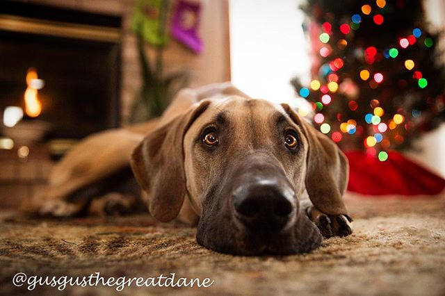 This holiday stuff is exhausting, amirite??? 😩😴🐾#christmasiscoming #holiday #christmas #photography #greatdane #greatdanesofinstagram #greatdanelove #greatdanesofig #christmastree #fireplace #photography #photooftheday #photographer #petphotography #puppyeyes #cute #adorable #love #lazy