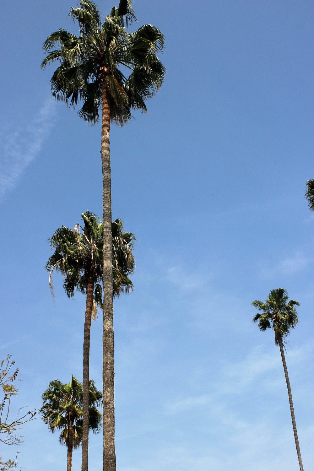 Classic palm trees throughout the streets of  Los Angeles.