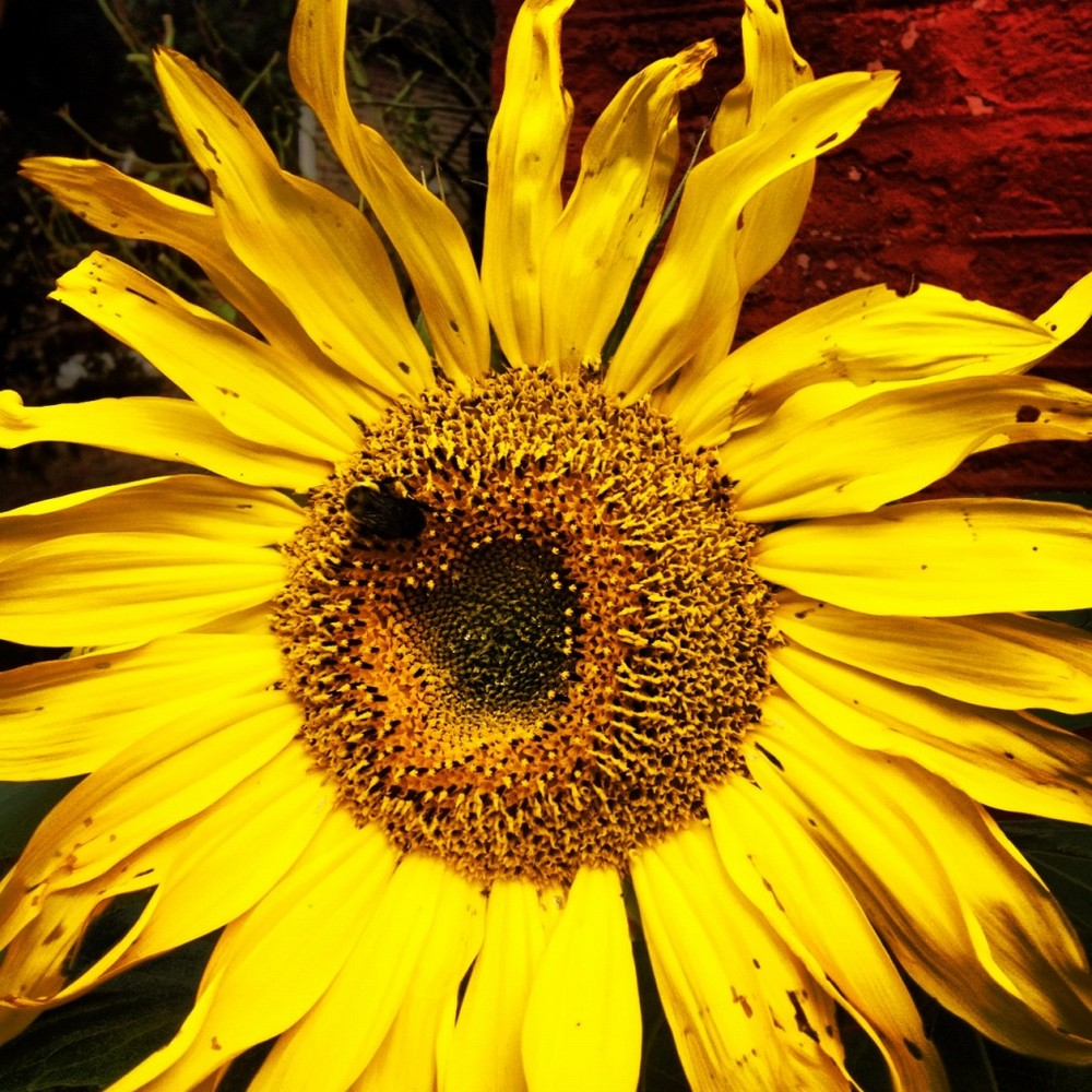 sunflower3-1024x1024.jpg