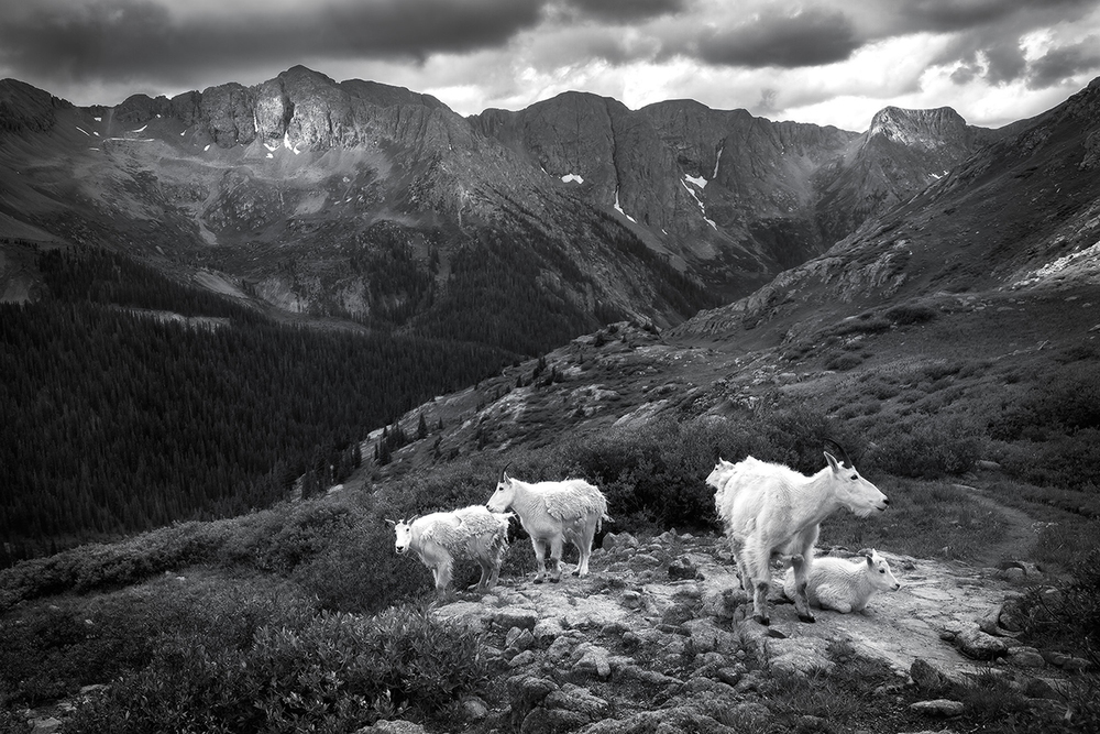 wildlife-landscape-goats-colorado
