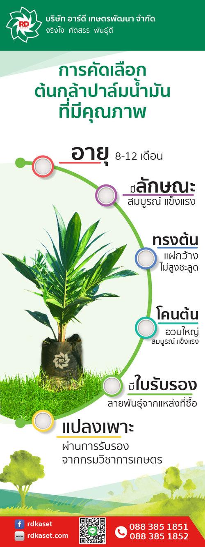 การคัดเลือกต้นกล้าปาล์มน้ำมันที่มีคุณภาพ_NoRAT.jpg
