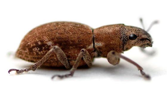 rose beetle.jpg