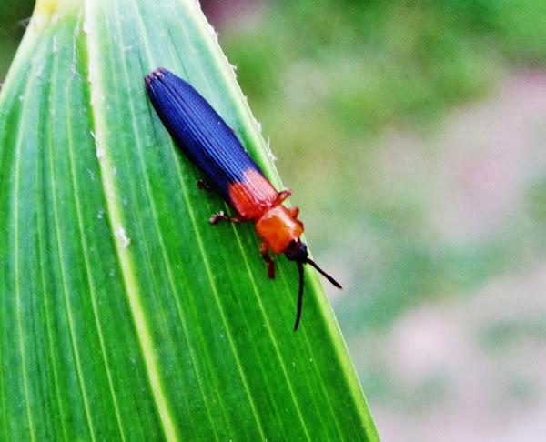 Coconut Hispine Beetle.jpg