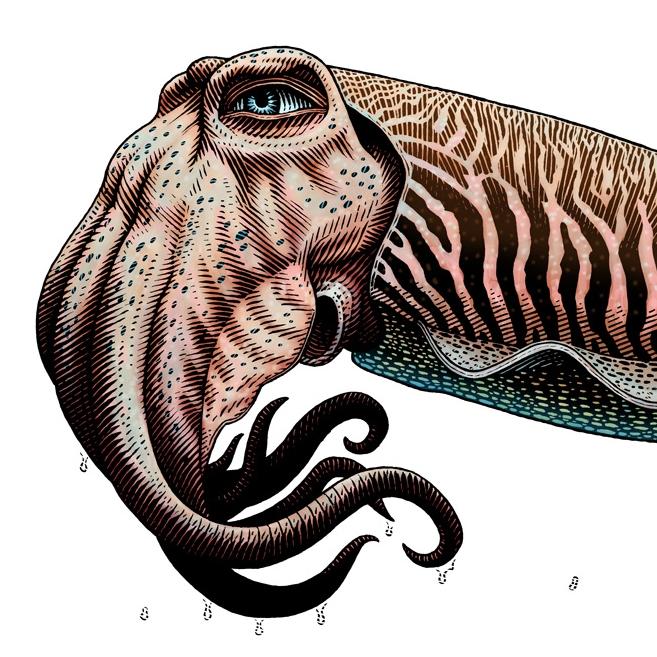 Cuttlefish White.jpg