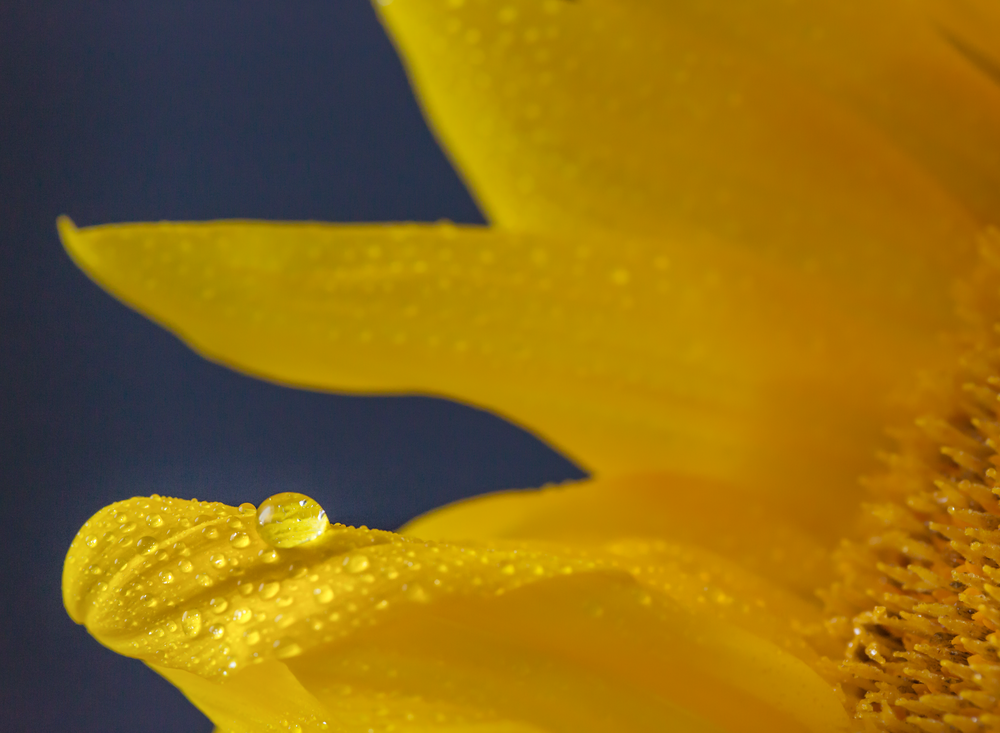 edmond ok oklahoma city photographer macro sunflower rose gerbera daisy water droplet (1).png