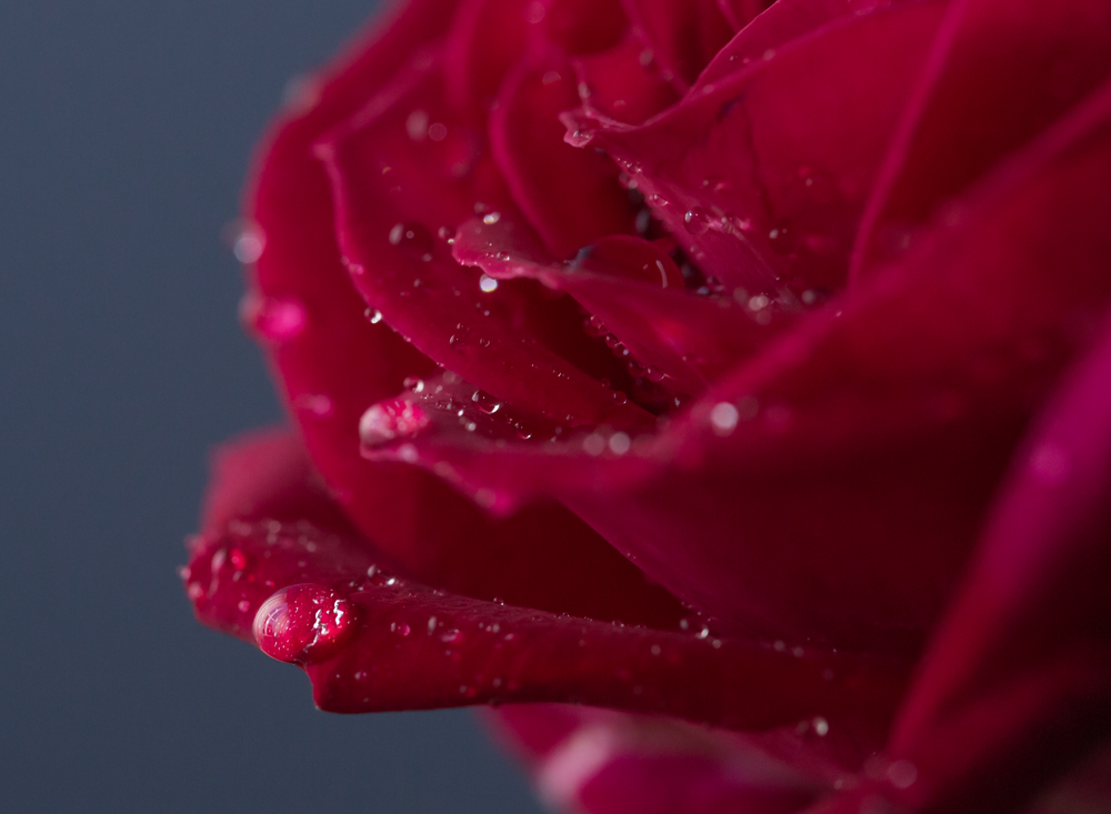 edmond ok oklahoma city photographer macro sunflower rose gerbera daisy water droplet (3).png