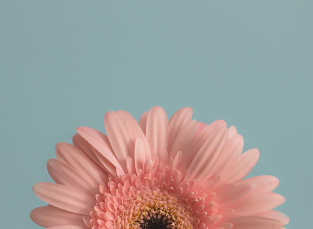 edmond ok oklahoma city photographer macro sunflower rose gerbera daisy water droplet (5).png