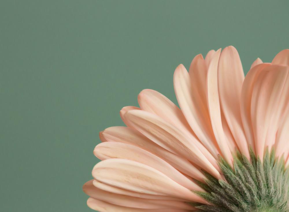edmond ok oklahoma city photographer macro sunflower rose gerbera daisy water droplet (6).png