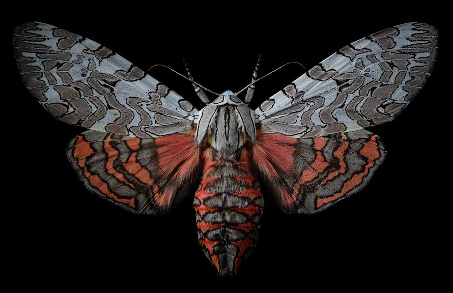 Painted Tiger Moth -  Canon 5d mk2  &  EF 100mm F2.8 Macro
