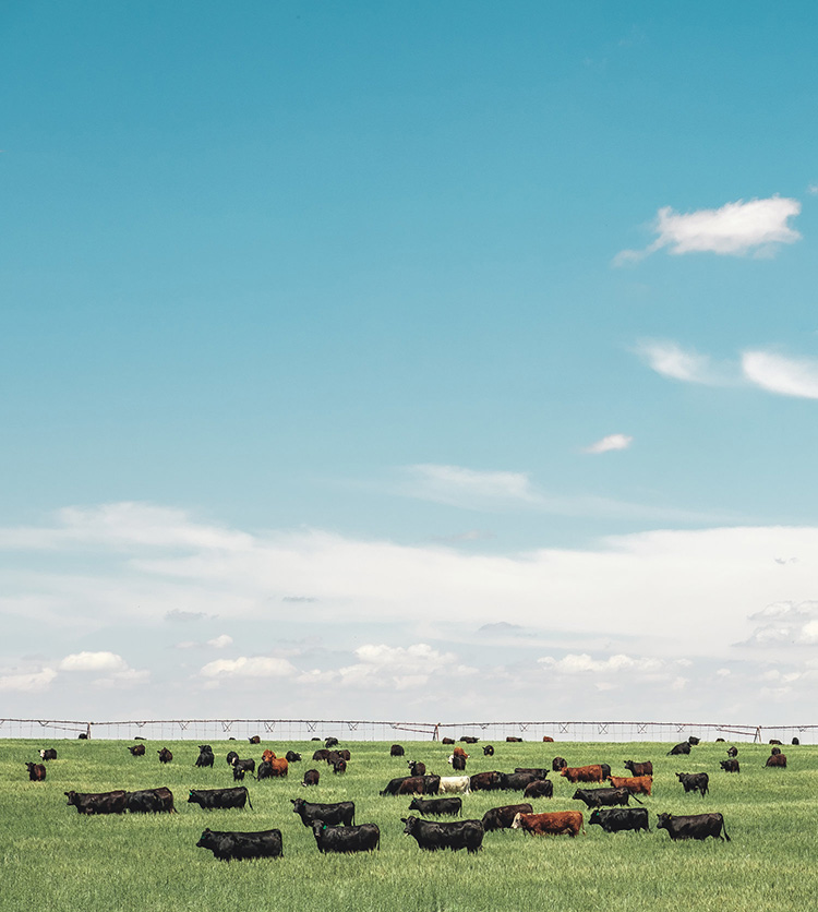 Cows grazing in New Mexico farmlands.