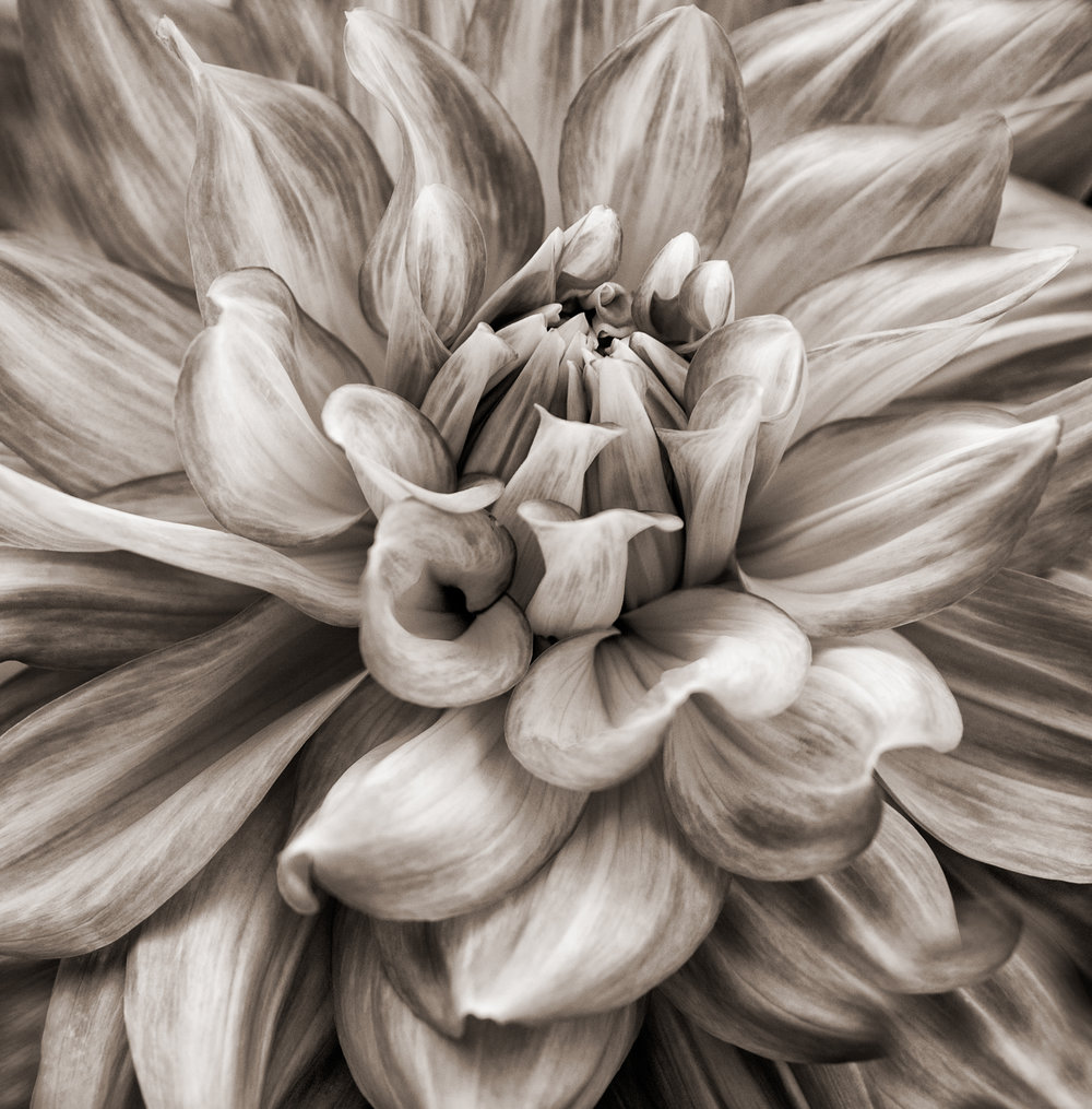Dahlia, Sepia by Laurie Fishman