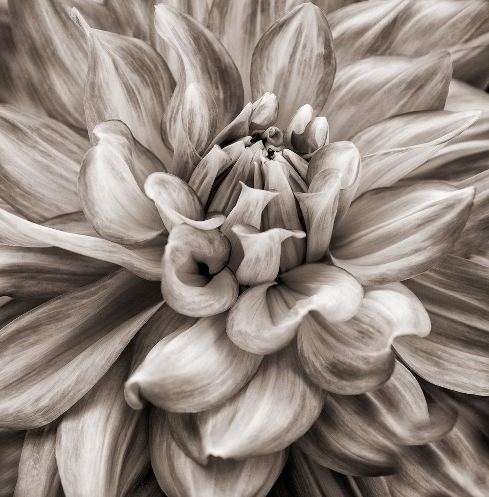 Dahlia, Sepia by Laurie Fishman