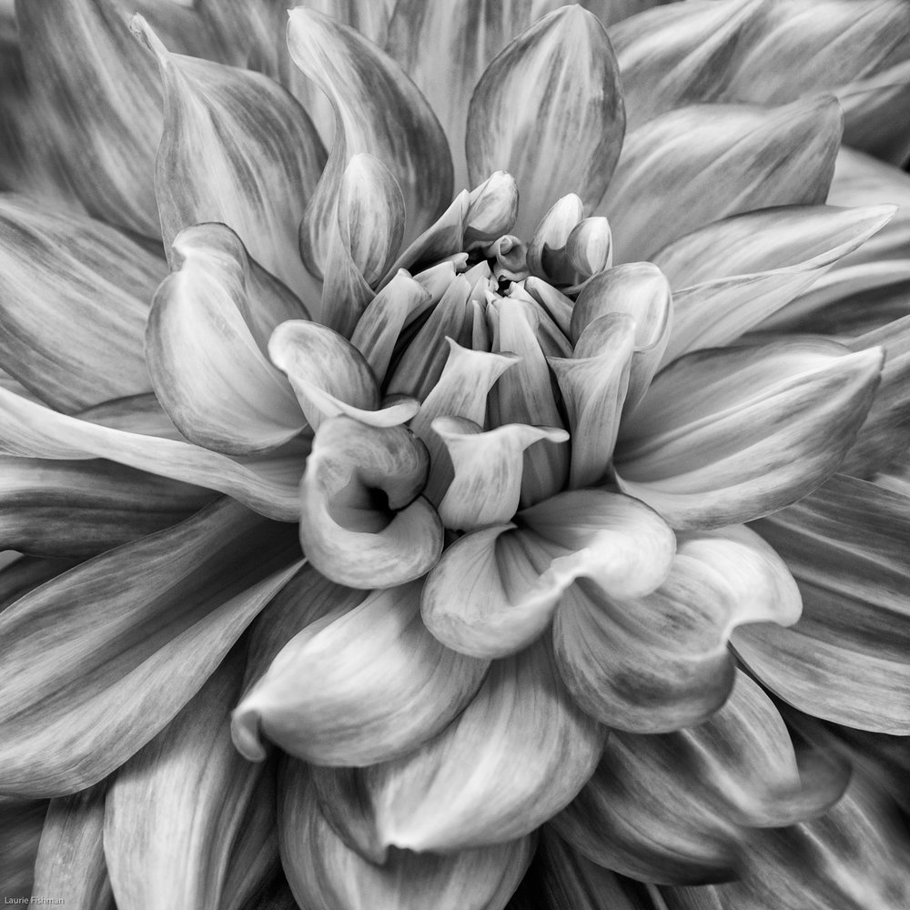 Dahlia Black & White