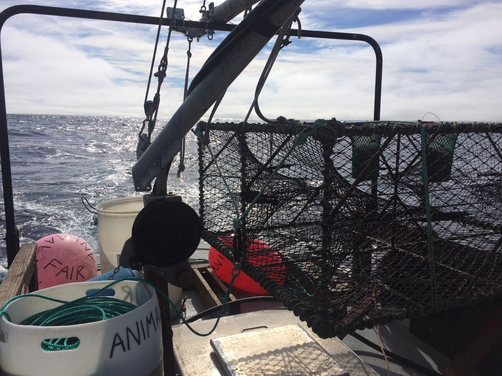 Setting a Black Cod Trap Offshore