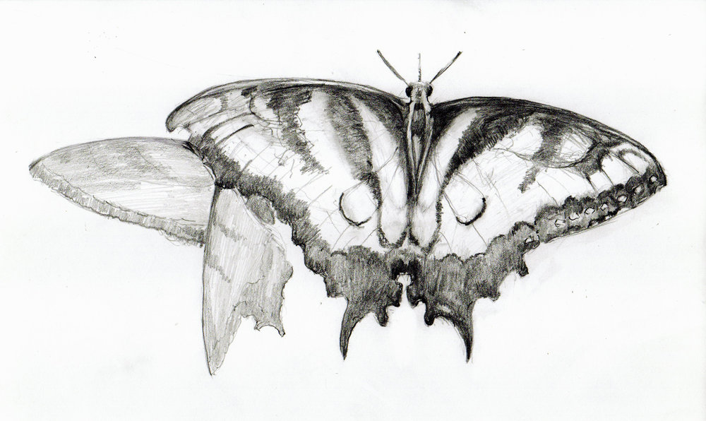 Butterfly_drawing-1.jpg