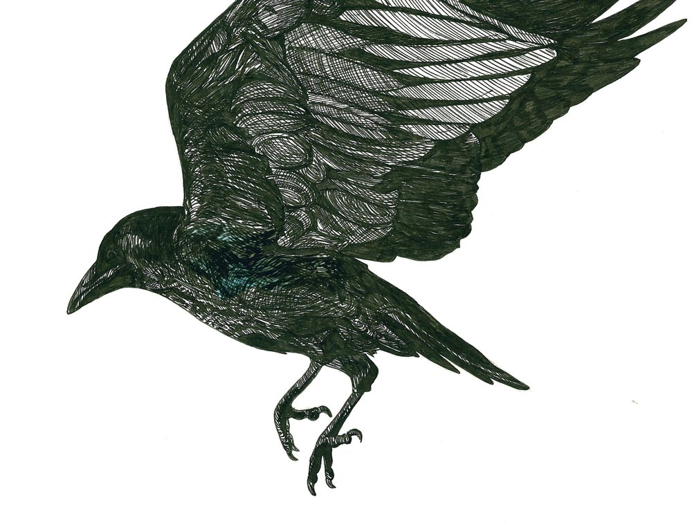 North American Crow .jpeg