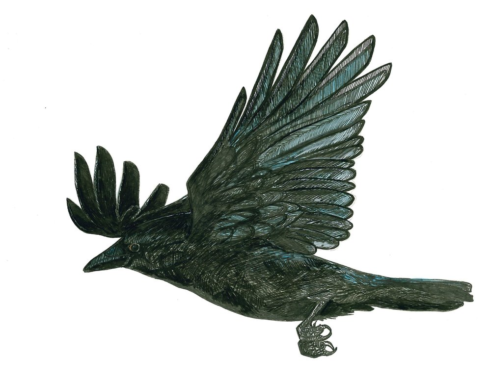 North American Crow 2.jpeg