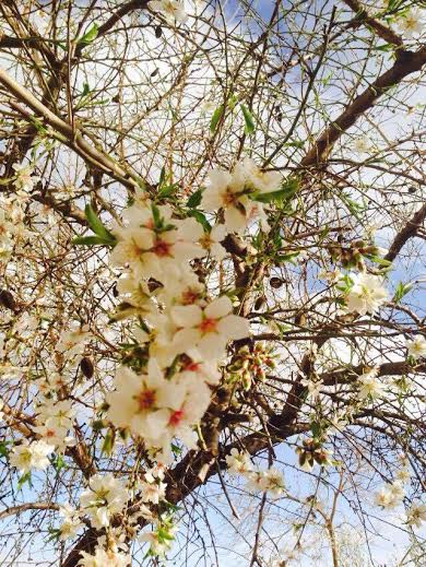 """P  icture of something that is very symbolic for me in this land, which is the almond flowers. Even Mahmoud Darwish the famous Palestinian poet wrote a poem about it:""     To Describe an Almond Blossom    To describe an almond blossom no encyclopedia of flowers is any help to me, no dictionary.   Words carry me off to snares of rhetoric that wound the sense, and praise the wound they've made.    Words carry me off to snares of rhetoric that wound the sense, and praise the wound they've made.    Like a   man telling a woman her own feeling.  How can the almond blossom shine in my own language, when I am but an echo ?   It is translucent, like liquid laughter that has sprouted on boughs out of the shy dew...    light as a musical phrase ...    weak as the glance of a thought that peaks out from our fingers as in vain we write it ...    dense as a line of verse not arranged alphabetically.    To describe an almond blossom, I need to make visits to the unconscious,    which guides me to affectionate names hanging on trees.    What is its name ?    What is the name of this thing in the poetics of nothing?    I must break out of gravity and words, in order to feel their lightness when they turn into whispering   ghosts, and I make them as they make me, a white translucent.    Neither homeland or exile are words, but passions of whiteness in the description of the almond blossom.    Neither snow or cotton.    One wonders how it rises above things and names.    If a writer were to compose a successful piece describing an almond blossom, the fog would rise from the   hills, and people, all the people, would say:    This is it.    These are the words of our national anthem."