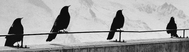 Raven Narratives storytelling ravens in a line