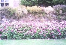 Rosa Mundi Hedge