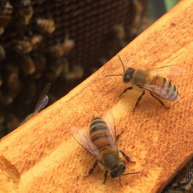 Quick check on the honeybees yesterday: lookin' good, ladies! 🐝🌻 #beekeeping #honeybee #apismelifera #hivecheck