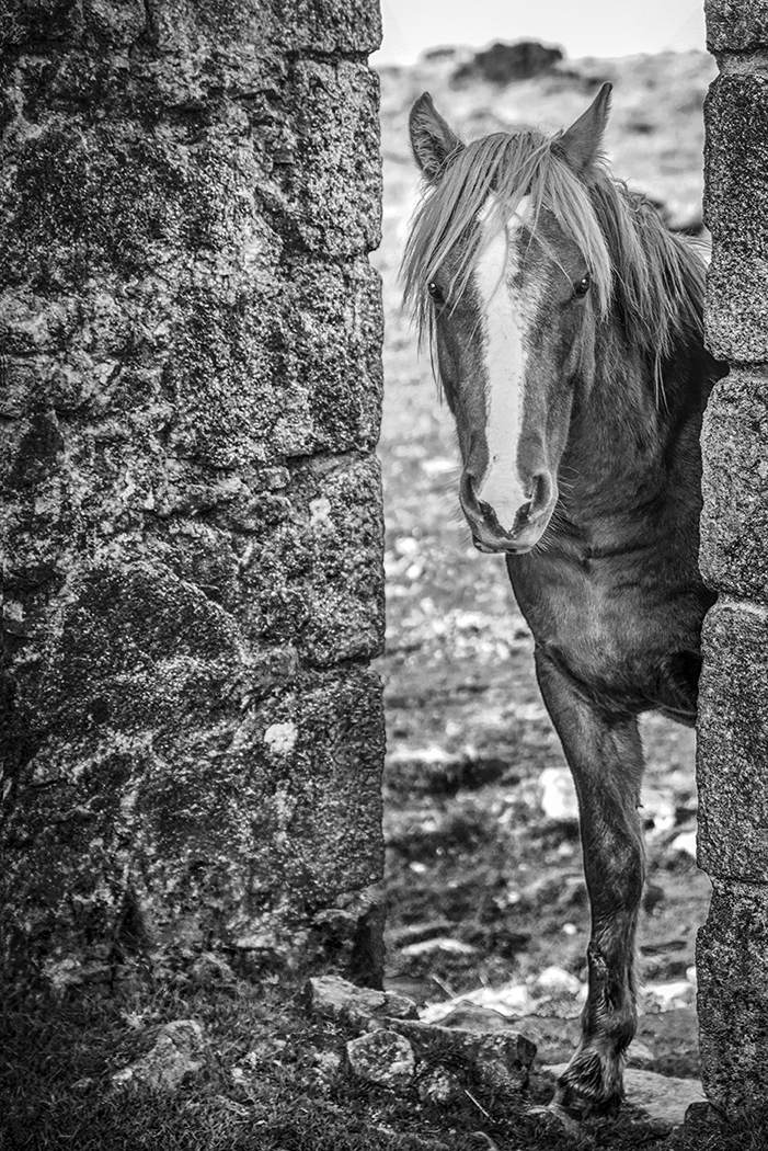 Ponies on Bodmin Moor 3.jpg