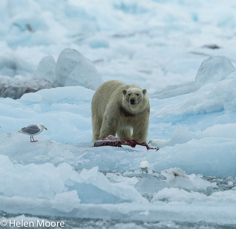 Polar Bear with dinner-4.jpg