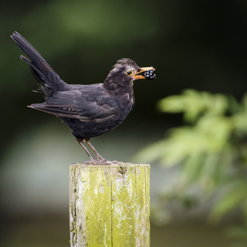 "1. ""Juvenile Black Bird with Blackberry"", Richard Squires"