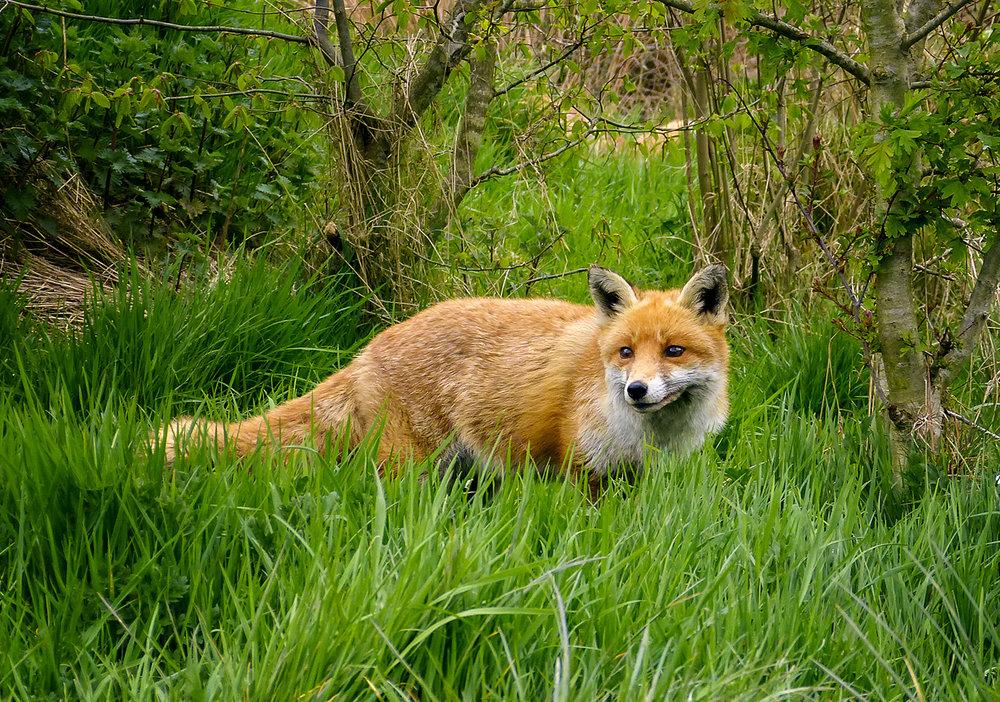 """3. """"Fox"""", Jan Martin"""