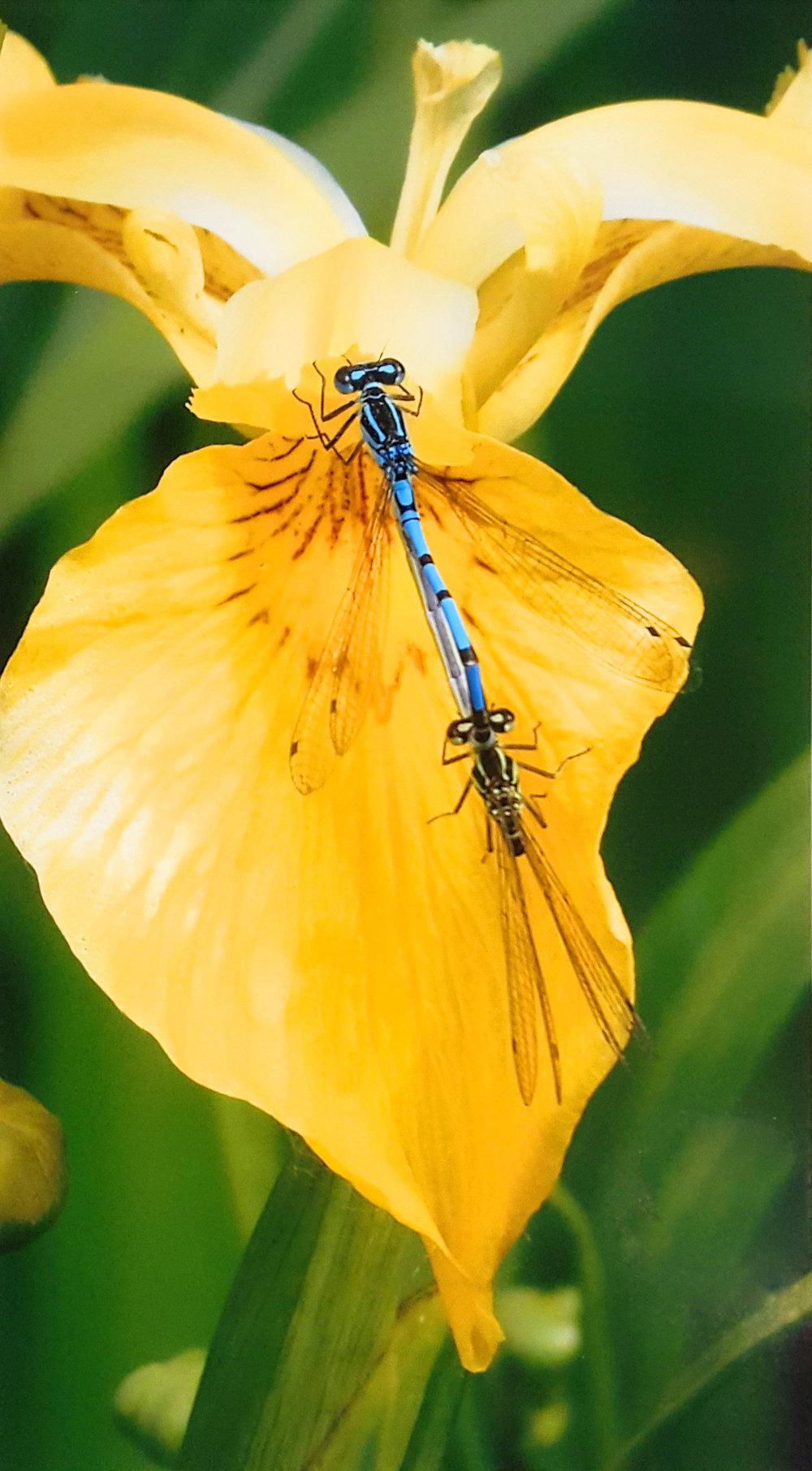 3. Kieley Evans - Damselfly mating on leaf