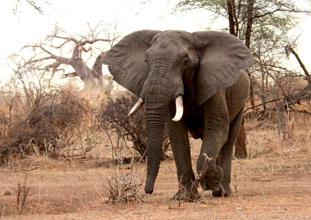 2 David Crawley - 'Loxodonta Africana-African Elephant' Ruaha,Tanzania